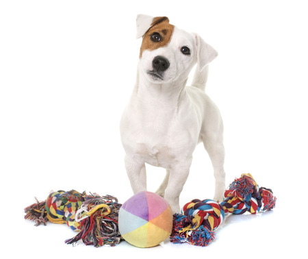 young jack russel terrier and toys in front of white background Stockfoto