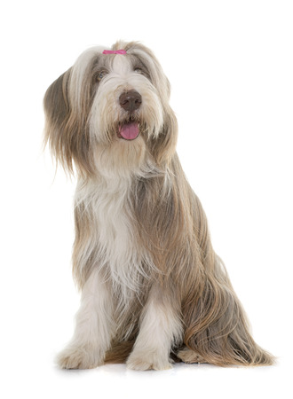 white dog: female bearded collie in front of white background