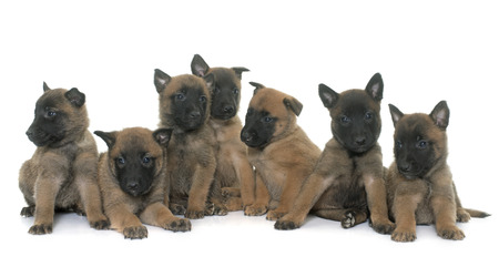 sheepdogs: puppies belgian shepherd malinois in front of white background Stock Photo