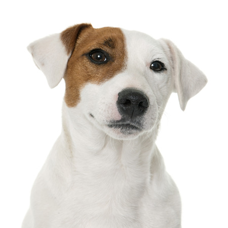 russel: young jack russel terrier in front of white background Stock Photo