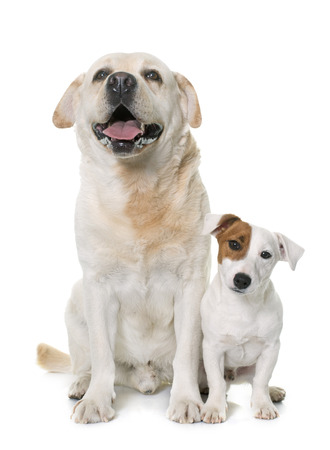 russel: male labrador retriever and jack russel terrier in front of white background Stock Photo