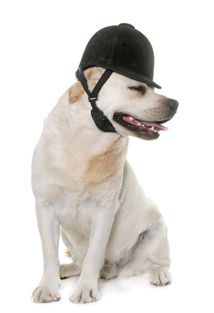 cap hunting dog: male labrador retriever and riding cap in front of white background Stock Photo