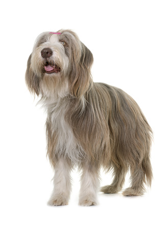 sheepdogs: female bearded collie in front of white background