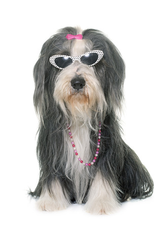 female bearded collie and sunglasses in front of white background Фото со стока