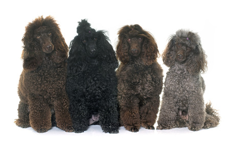 black hairs: purebred poodles in front of white background Stock Photo