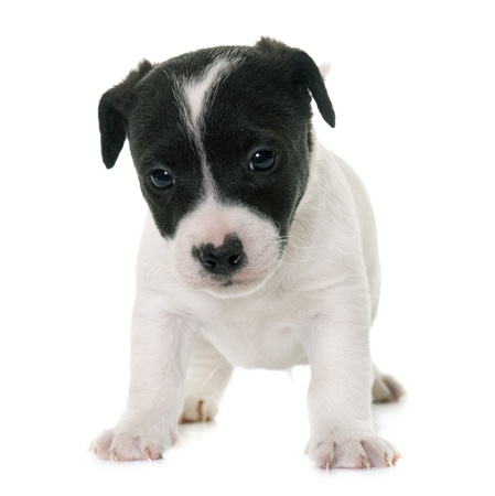 russel: puppy jack russel terrier in front of white background
