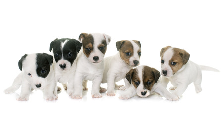 russel: puppies jack russel terrier in front of white background