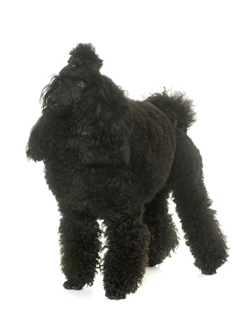 purebred: purebred poodle in front of white background Stock Photo