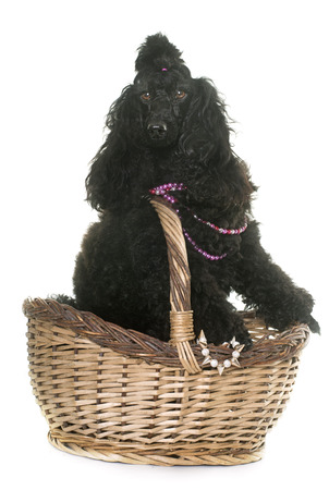 black hairs: purebred poodle in front of white background Stock Photo