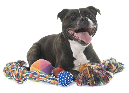 adult toys: stafforshire bull terrier in front of white background Stock Photo