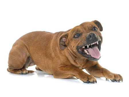 aggressive stafforshire bull terrier in front of white background