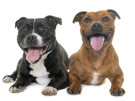 pitbull: stafforshire bull terriers in front of white background Stock Photo