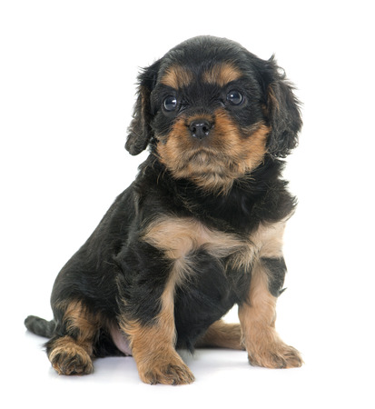 charles: puppy cavalier king charles in front of white background