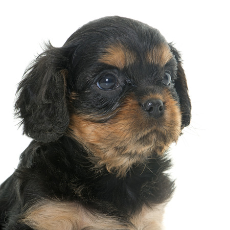 cavalier: puppy cavalier king charles in front of white background