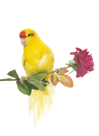 periquito: Red-fronted Kakariki parakeet in front of white background