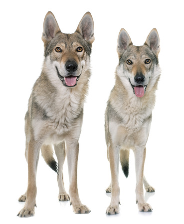 wolf couple: czechoslovakian wolf dog in front of white background Stock Photo