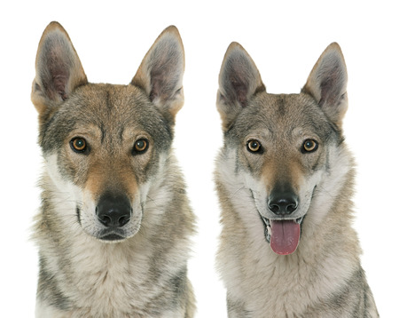 wolf couple: czechoslovakian wolf dogs in front of white background