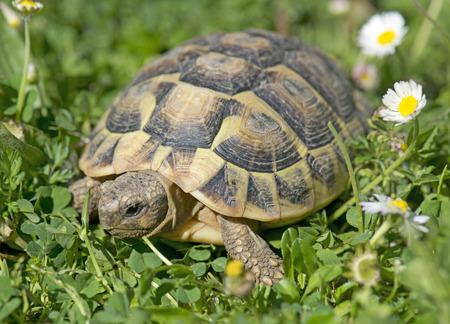 herman: Hermanns tortoise in grass in a day of spring
