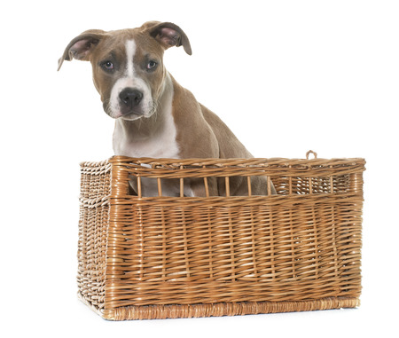staffordshire: puppy american staffordshire terrier in front of white background