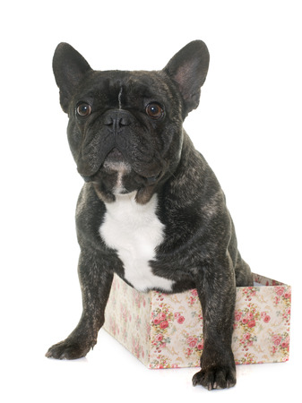 brindle: brown french bulldog in front of white background