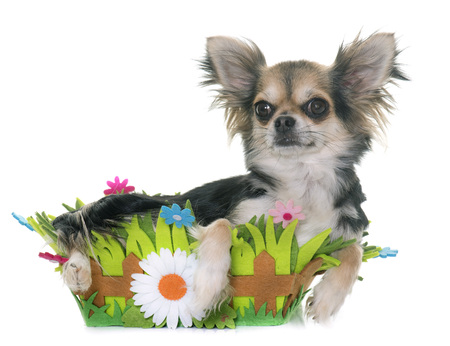 pedigree: adult chihuahua in front of white background