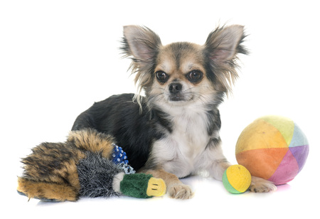 adult toys: adult chihuahua in front of white background