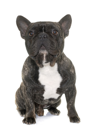 marrone bulldog francese di fronte a sfondo bianco