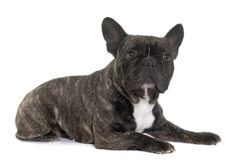 male animal: brown french bulldog in front of white background