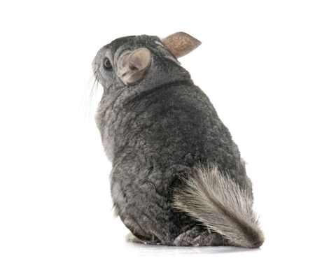 sit on studio: adult chinchilla in front of white background