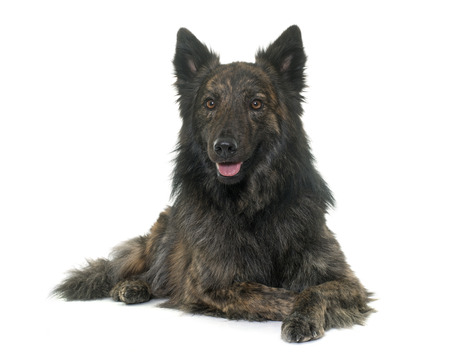 animal hair: Dutch Long haired shepherd in front of white background