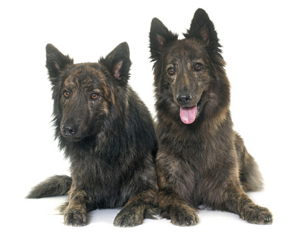 haired: Dutch Long haired shepherds in front of white background Stock Photo