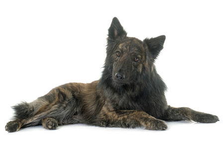 haired: Dutch Long haired shepherd in front of white background