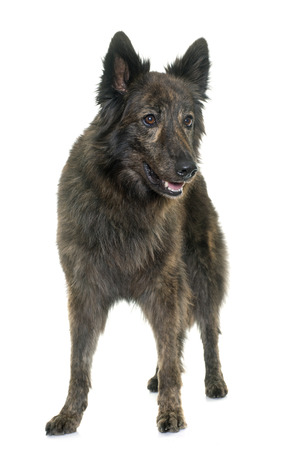 dutch: Dutch Long haired shepherd in front of white background