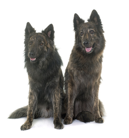 long hairs: Dutch Long haired shepherds in front of white background Stock Photo