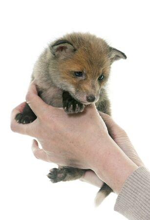 caress: red fox cub in hands in front of white background Stock Photo