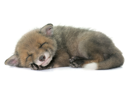 sleeping red fox cub in front of white background