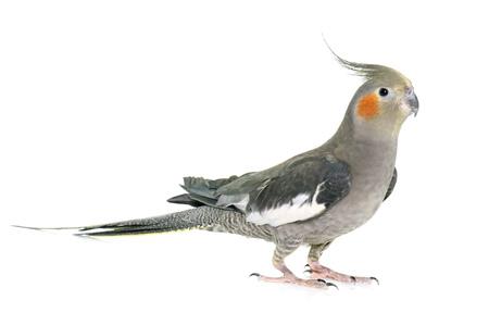 cockatiel adulti di fronte a sfondo bianco