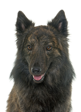 sheepdogs: Dutch Long haired shepherd in front of white background