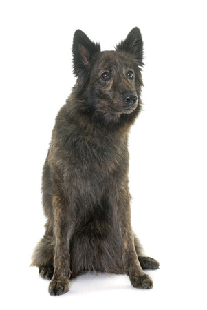 long haired: Dutch Long haired shepherd in front of white background