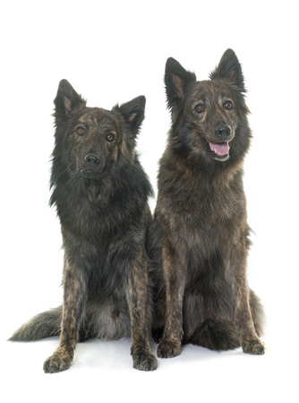 long haired: Dutch Long haired shepherds in front of white background Stock Photo