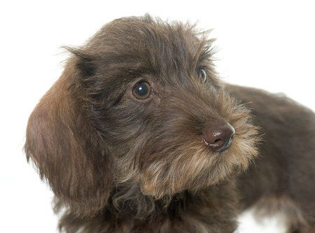 haired: puppy Wire haired dachshund  in front of white background