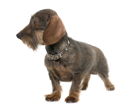 haired: female Wire haired dachshund in front of white background