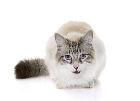 ragdoll: hungry ragdoll cat in front of white background
