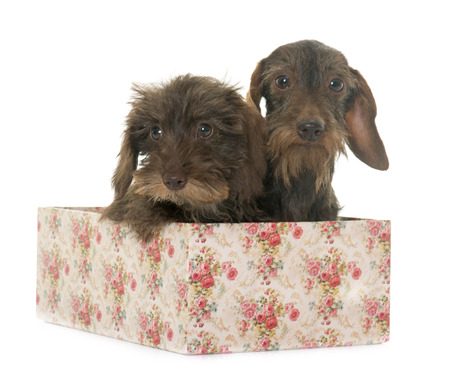 haired: puppy and adult Wire haired dachshund in front of white background Stock Photo