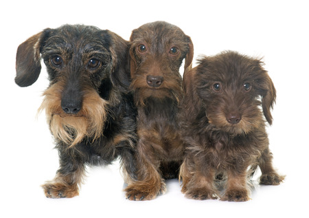 haired: family Wire haired dachshund in front of white background