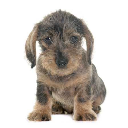 haired: puppy Wire haired dachshund in front of white background Stock Photo