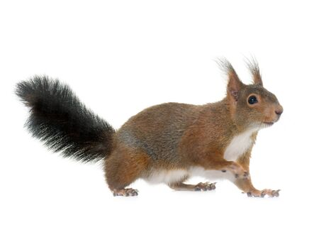 red squirrel: Eurasian red squirrel in front of white background