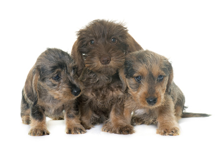 haired: puppies Wire haired dachshund in front of white background