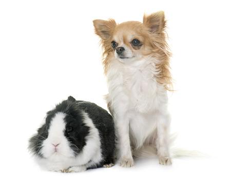 Zwergkaninchen und Chihuahua vor weißem Hintergrund Standard-Bild