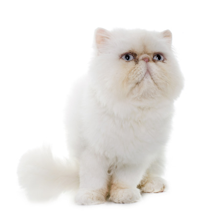 white cat: white persian cat in front of white background Stock Photo